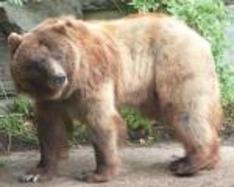 The Bear Tournament in Pistoia